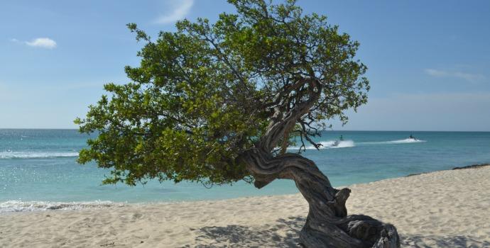 Árvore Divi-Divi na praia de Eagle Beach em Aruba