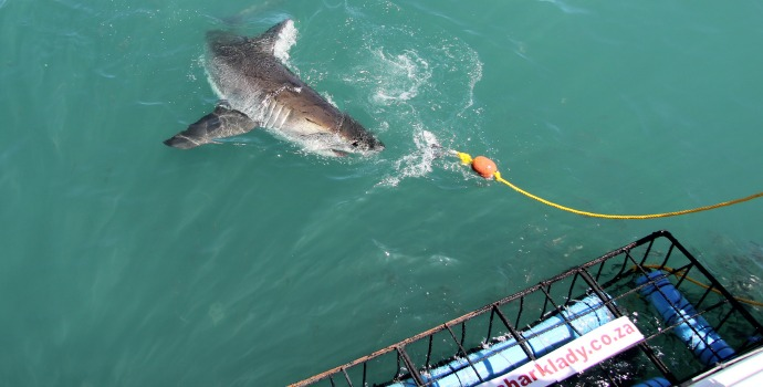 mergulho com tubarões